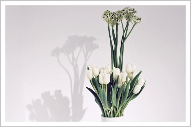 tulips, mauvert, white tulip